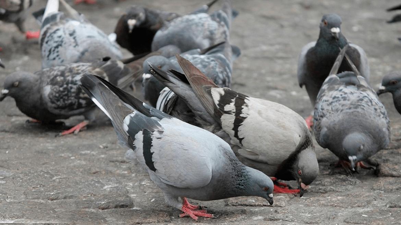 Tipos de doenças transmissíveis por pombos